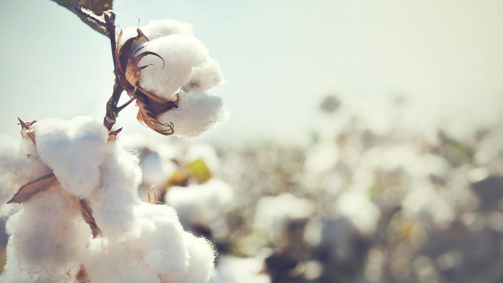 Nachhaltiger Stoff Bio-Baumwolle in der Natur